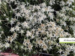 all about edelweiss