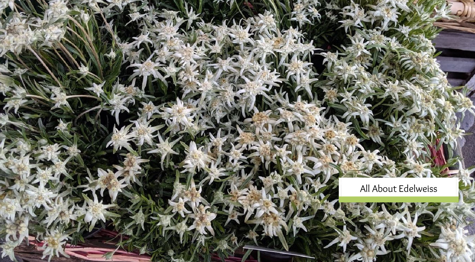 What is Edelweiss? All about this Legendary Flower