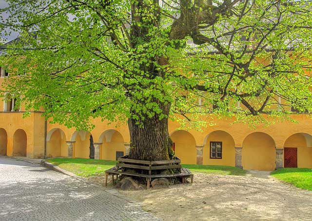 linden tree in germany