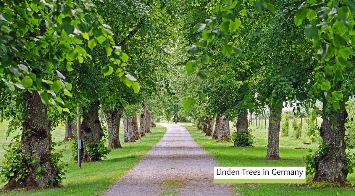 linden trees in germany